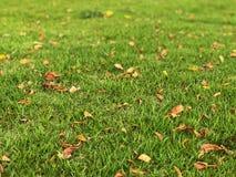 Сухое падение лист в лужайку Зеленая трава на спортивной площадке Стоковые Изображения