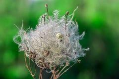 Сухое семя vitalba clematis с раковиной улитки Стоковое фото RF