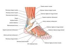 Сухожилия ноги бесплатная иллюстрация
