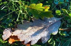 сухой дуб листьев hoarfrost стоковая фотография rf