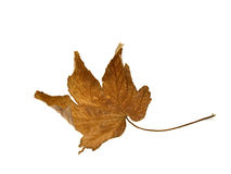 сухой желтый цвет клена листьев Стоковое Изображение