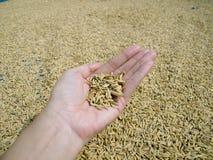 Сухой желтый рис внутри Стоковое Фото