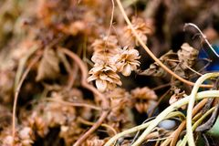 Сухой завод с плодоовощами вызвал хмели, который использован для того чтобы сделать отравлять Стоковые Изображения