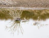 Сухой завод в озере с отражением Стоковое Изображение