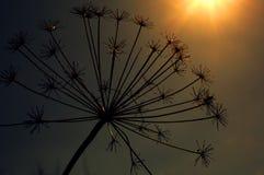 Сухой завод на предпосылке захода солнца Стоковое Фото