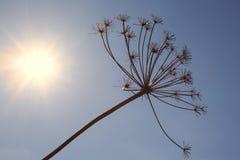 Сухой завод против неба Стоковое Фото