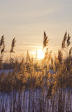 сухой заход солнца тростников Стоковое Изображение RF