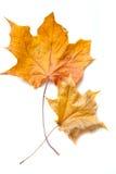 сухой клен листьев Стоковое Фото