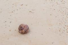 Сухой кокос на seashore Стоковое Изображение