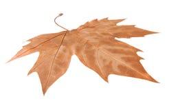 Кленовый лист изолированный на белизне Стоковые Изображения RF
