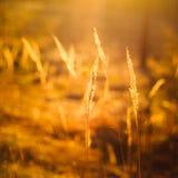 Сухой красный луг поля травы Стоковое фото RF