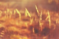 Сухой красный луг поля травы Стоковые Фотографии RF