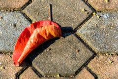 Сухой красный цвет лист на цементе Стоковое Фото