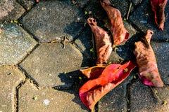 Сухой красный цвет лист на цементе Стоковое Изображение