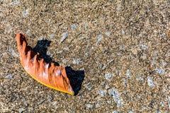 Сухой красный цвет лист на цементе Стоковые Фотографии RF