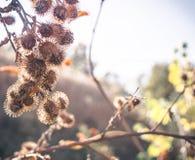 Сухой куст терния thistles стоковая фотография