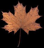 Сухой кленовый лист изолированный на черной предпосылке Стоковые Изображения RF