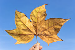 Сухой кленовый лист Стоковое Изображение RF