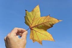 Сухой кленовый лист Стоковая Фотография RF
