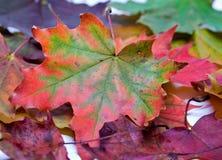 сухой клен листьев Стоковые Изображения RF