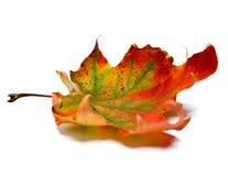 сухой клен листьев Стоковая Фотография