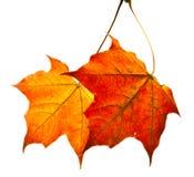 сухой клен листьев Стоковое Изображение
