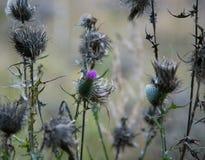 Сухой лопух среди травы в лучах стоковое изображение rf