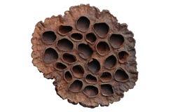 сухой лотос цветка Стоковая Фотография RF