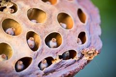 сухой лотос Стоковые Фотографии RF
