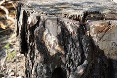 Сухой пиломатериал дерева в лесе и солнечном свете стоковое фото