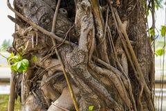 Сухой плющ переплетает вокруг обширный ствол дерева с концом-вверх листьев Стоковые Фотографии RF