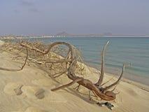 Сухой ствол дерева на тропическом пляже с белым песком, Кабо-Верде Стоковые Изображения