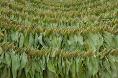 Сухой табак Стоковая Фотография RF