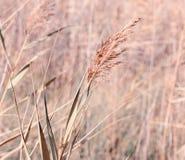 Сухой тростник рекой стоковое фото