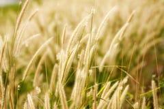 сухой тростник стоковая фотография rf