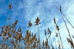 Сухой тростник panicle Стоковые Фото