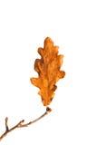сухой дуб листьев Стоковая Фотография RF