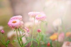 Сухой цветок соломы или вековечный цветок Стоковые Изображения RF