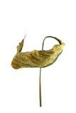 Сухой цветок 02 Стоковые Фотографии RF