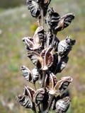 сухой цветочный стебель Стоковые Изображения