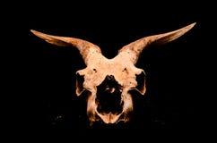 Сухой череп козы с большим Стоковая Фотография