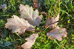 сухой hoarfrost выходит дуб стоковое фото