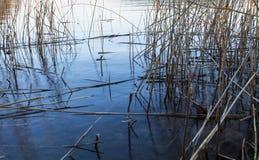 Сухой Reed в воде Стоковые Фото