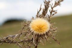 сухой thistle растя на холме Стоковая Фотография