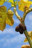 Плодоовощ Curcas Jatropha стоковое фото rf