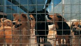 Сучжоу, Китай - 4-ое мая 2019: Steadicam карданного подвеса сняло грустных собак в укрытии за загородкой ждать быть спасенным и п акции видеоматериалы