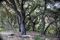 Сучковатые деревья Стоковая Фотография RF