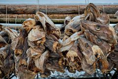 Сушить головы трески stockfish в рыбацком поселке Reine в Норвегии стоковое фото