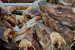 Сушить головы трески stockfish в рыбацком поселке Reine в Норвегии стоковые фотографии rf