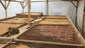 Сушить какао и кофейных зерен, Sao Tome стоковое изображение rf